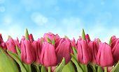 Постер, плакат: Свежие весенние тюльпаны с размытие фона неба