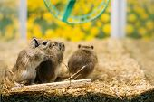 Meriones Unguiculatus, The Mongolian Jird Or Mongolian Gerbil Is A Rodent Belonging To Subfamily Ger poster