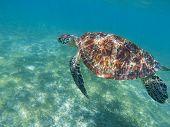 Sea Turtle Swims In Blue Sea. Sea Turtle In Tropical Seashore, Underwater Photo Of Marine Wildlife.  poster