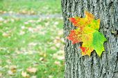 Bright Maple Leaves And Maple Trunk. Closeup. Bark Maple Texture Background. Autumn Background. poster