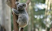 The Joey Koala Is Trying To Go Down The Tree poster