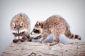 Portrait Of Two Little Playful Racoons Animal On A Log poster