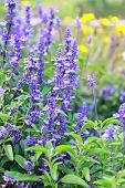 stock photo of blue-salvia  - Meadow with blooming Blue Salvia herbal flowers - JPG