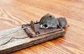 stock photo of dead mouse  - A dead mouse caught in a mousetrap - JPG