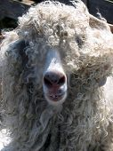 picture of buck teeth  - The wooly smile of a buck toothed sheep - JPG