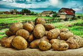 image of exhumed  - Raw potatoes amid the countryside and fields - JPG