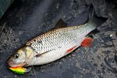 stock photo of chub  - Chub caught on plastic lure lying in boat - JPG