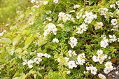pic of wild-brier  - This is a photograph of a flower of wild rose - JPG
