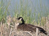 stock photo of mother goose  - A mother goose guarding her eggs by a pond in SC - JPG