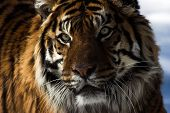 stock photo of foodchain  - Close up of a tiger - JPG