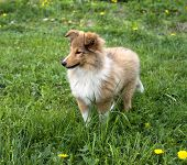image of sheltie  - little red - JPG