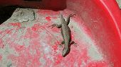 picture of mutilated  - a mutilated lizard on red plastic dustpan - JPG