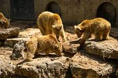foto of foodchain  - Brown Bears eating fish on the rock - JPG