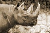 foto of fat lip  - The black rhinoceros or hook - JPG