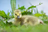 image of baby goose  - Little baby Canada goose - JPG