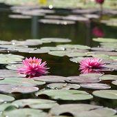 Постер, плакат: Lotus в пруду