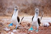 stock photo of booby  - Couple of blue footed boobies performing mating dance - JPG
