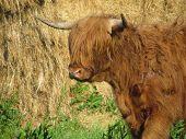picture of highland-cattle  - Scottish highland cattle - JPG