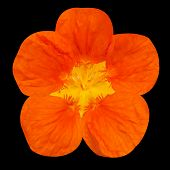 stock photo of nasturtium  - Orange nasturtium flower Isolated on Black Background - JPG