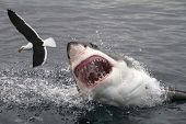 stock photo of great white shark  - Great white shark attacking a sea gull