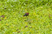 Wattled Jacana Searching For Food On A Marsh
