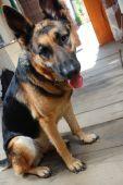 stock photo of german-sheperd  - cute young female shepherd dog