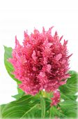 stock photo of celosia  - Pink Celosia argentea isolated on a white background