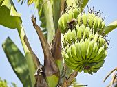 stock photo of banana tree  - view of bundle green raw banana on banana tree in sunlight - JPG
