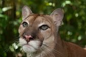 foto of cougar  - Close up of the beautiful eyes of a large male cougar in Belize - JPG