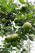 picture of seed bearing  - Rural green apple orchard tree bearing fruit - JPG