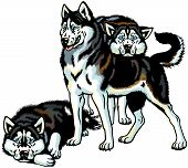 image of husky sled dog breeds  - siberian husky sled dogs - JPG