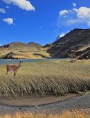 Patagonia, national park Torres del Paine, Chile. A graceful guanaco stands on the shore of blue lak