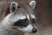 foto of raccoon  - Raccoon  - JPG