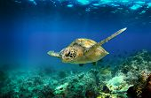 pic of green turtle  - Green sea turtle swimming underwater in the Galapagos Islands - JPG