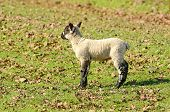 pic of spring lambs  - Young Spring lambs on a ranch in southern Oregon