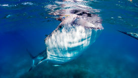 picture of gentle giant  - A large Whale Shark feeds on small fish near the ocean surface - JPG