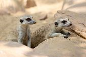 picture of meerkats  - group of meerkat on the sunny day - JPG