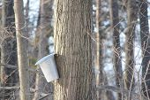 picture of maple tree  - Metal sap bucket attached to a maple tree to catch sap drippings for making maple syrup - JPG