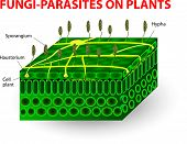 Постер, плакат: Fungi parasites on plants