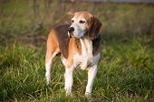 stock photo of foxhound  - Beautiful purebred smart beagle hunting dog in summer pasture - JPG