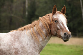 image of appaloosa  - Potrait of beautiful appaloosa mare in autumn - JPG