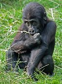 pic of gorilla  - portrait of a Gorilla youngster sitting in grass - JPG