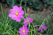 pic of cosmos flowers  - Cosmos flowers in the summer garden - JPG