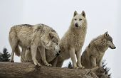 foto of endangered species  - Close up image of a grey wolf pack or timber wolf - JPG