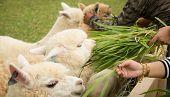 stock photo of alpaca  - tourist feeding green ruzi grass leaves to llama alpacas in setting animals farm selection focus - JPG