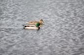 image of male mallard  - mallard couple swimming on a lake - JPG