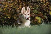 stock photo of husky  - majestic portrait of grey black purebread husky dog lying on green grass - JPG