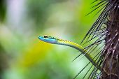 pic of jungle snake  - Closeup view of a parrot snake in the Amazon rainforest in Peru - JPG