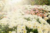 stock photo of mums  - The many mum flower in garden for spring - JPG