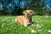 stock photo of cross-breeding  - Cross breed dog laying in grass and flowers - JPG